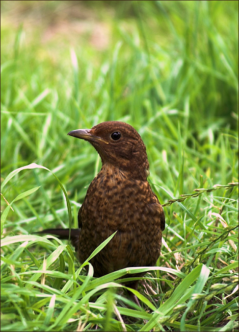 Thrush Youngster