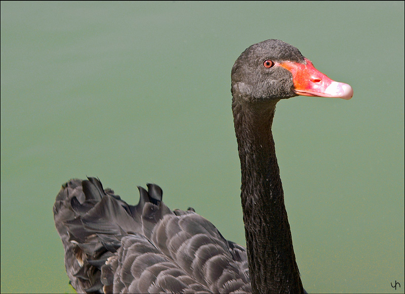 Young Black Swan