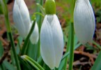 No Snow but Snowdrops