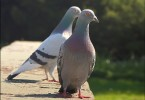 Pidgeon Pair
