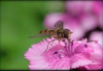 Hoverfly at ISO 1600