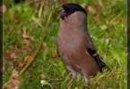 Lady Bullfinch