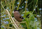 Bullfinch Lady